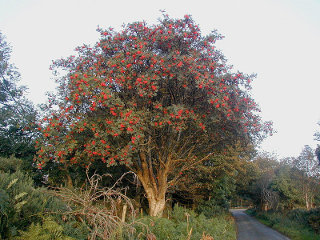Rowan tree with berries