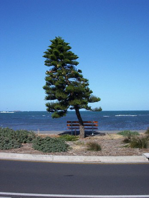 Pine tree on the South Australian coast