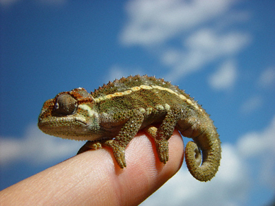 A tiny rough-skinned lizard, possibly a chameleon, perches on a human finger