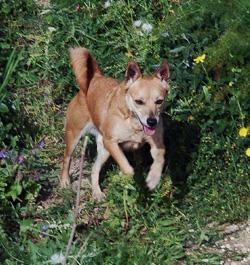 Dennis the dog runs through grass and flowers