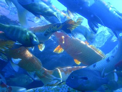 Bream, bass, catfish and koi carp swimming