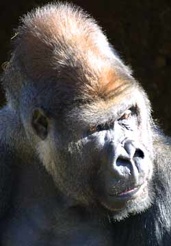 A gorilla at Melbourne Zoo looks askance at something - or someone! - out of shot