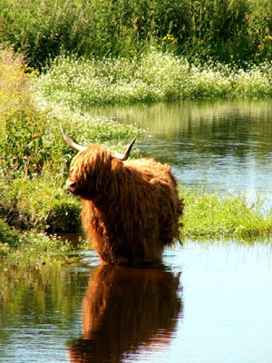 Highland cow standing in a pond