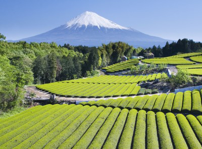 Rows of green tea bushes in Japan, with the iconic Mount Fuji in the background
