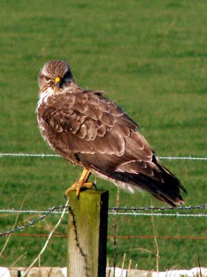 A kestrel perched on a fence-post
