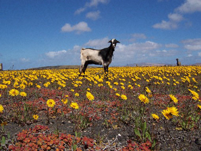 A goat in a field of yellow flowers