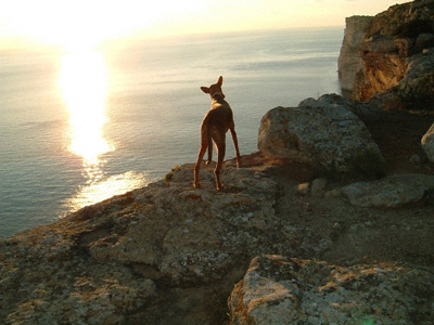 A Kelb tal Fenek, Malta's national dog, gazes out to sea and the setting sun