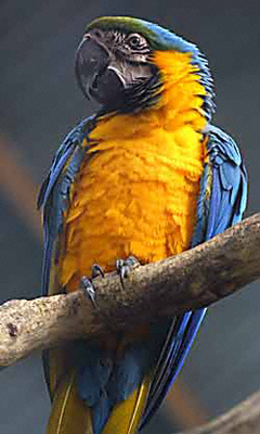 A brightly-coloured parrot in Melbourne Zoo