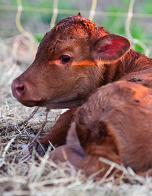 new-born-calf-tn