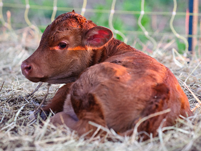 A watchful newly-born red calf lying on straw