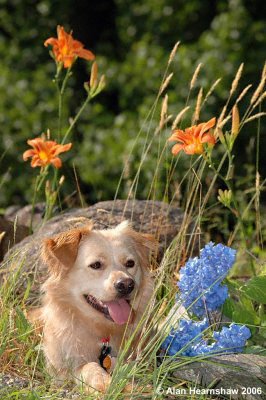 Dog lying down among wild flowers in northern Georgia, USA