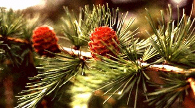Close-up of a flowering Scots pine branch