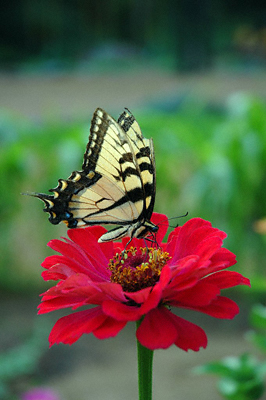 A swallowtail butterfly perches gracefully on a bright crimson flower
