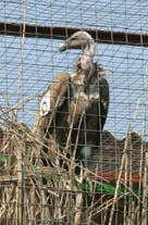 A vulture in an aviary