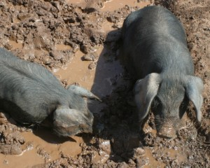 Black pigs wallowing in mud