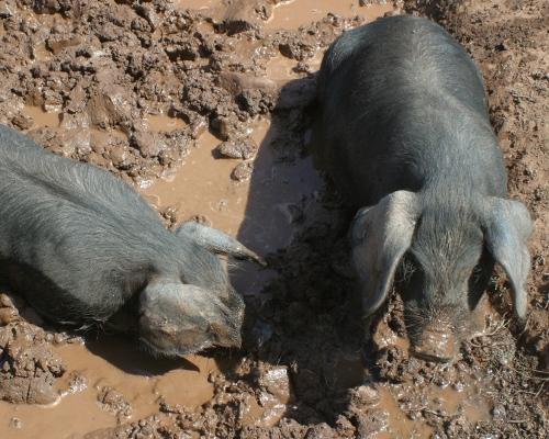 Black pigs wallowing in mud