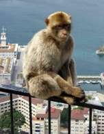 A Barbary macaque sits on a railing above Gibraltar harbour