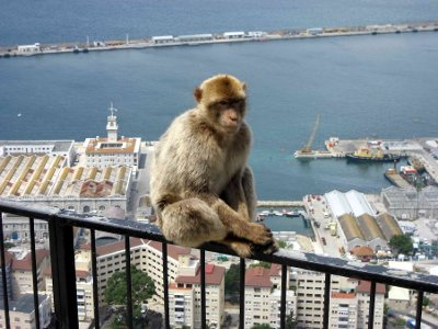 A Barbary macaque perched on a railing above Gibraltar harbour