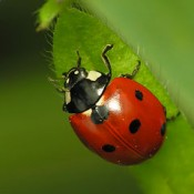 Seven-spotted Ladybird (Coccinella septempunctata)