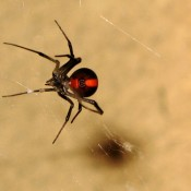 The Australian redback spider (Latrodectus hasselti)