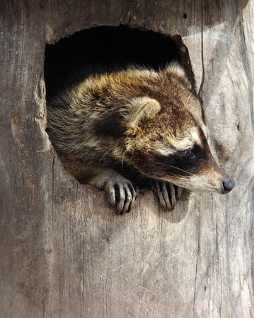 A raccoon peers out from a tree hollow