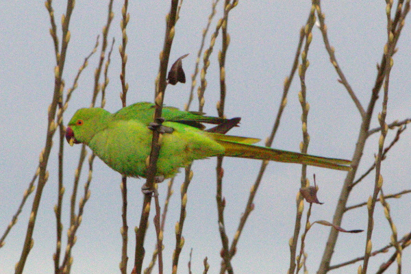 Feral rose-ringed parakeet in a tree