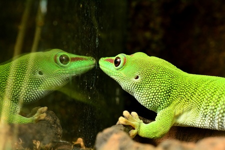 A chameleon stares at its own reflection