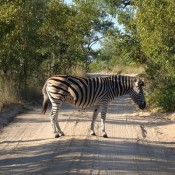 A zebra, crossing a dirt road somewhere in Africa