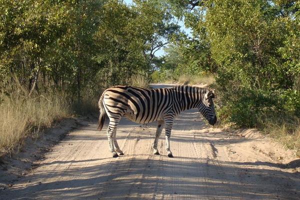 A zebra, crossing a dirt road somewhere in Africa