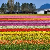 Different varieties of tulip growing in rows in a field