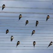 Swallows on telephone wires, looking rather like a musical score