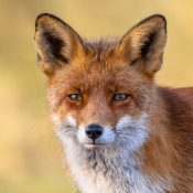 The European red fox (Vulpes vulpes)