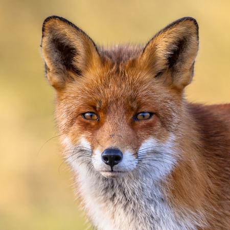 The European red fox (Vulpes vulpes)