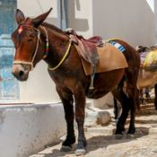 A queue of donkeys on a Greek street