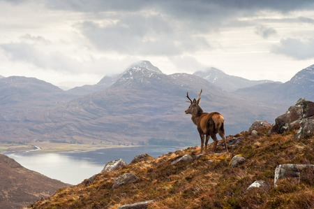 Wild stag overlooking Loch Torridon and the Wester Ross mountains
