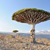 Dragon trees (Dracaena cinnabaris) on the Yemeni island of Socotra