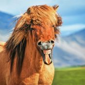 An Icelandic horse appears to be laughing